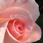 Pink rose with beads of dew by CreateArt9