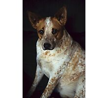 Red Heeler Portrait Photographic Print