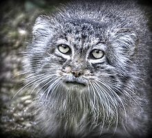 Manul by Thea 65