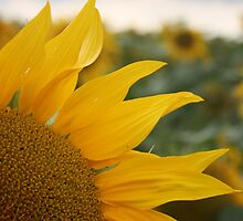 Sunflower, Loire Valley, France by craigs79