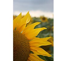 Sunflower, Loire Valley, France Photographic Print