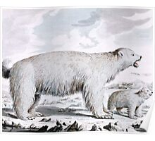 Polar Bears Old Illustration Poster