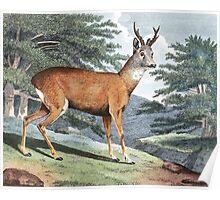 Roebuck Deer Art Poster