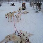 Our White Wedding Husky Ride by Angela  Waite