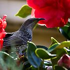 Peeping Tom - Little Wattlebird by Nick Sage