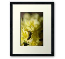 Feasting on my Banksia roses! Framed Print