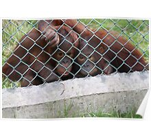 Hugging Orangutans /2 Poster