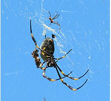 Balfour Spider Photographic Print