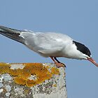One Good Tern Deserves Another by RCTrotman