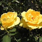 A pair of yellow roses by CreateArt9