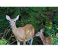 Whitetail Deer Doe and Fawn Photographic Print