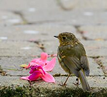 Robin and fallen fuschia petals by Andrew Jones