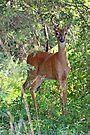 Whitetail Deer Buck in Velvet - 6 Pointer by MotherNature