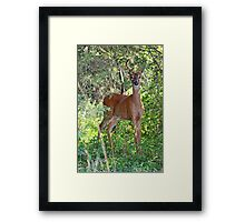 Whitetail Deer Buck in Velvet - 6 Pointer Framed Print