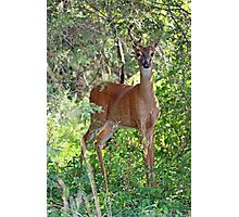 Whitetail Deer Buck in Velvet - 6 Pointer Photographic Print