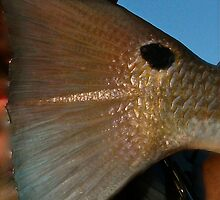 redfish tail by kingfisherkrys