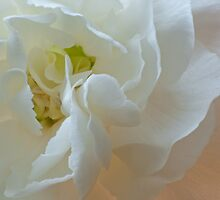 White Carnation Heart macro by jeliza