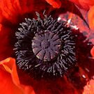 Red Poppy Heart by jeliza