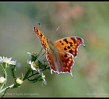 Question Mark butterfly... by pieceoflace