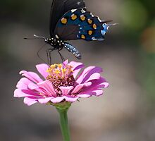 Swallowtail Butterfly by Diego  Re