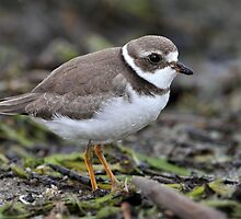Full Frame Semi/ Semi Palmated Plover by Gary Fairhead