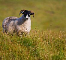 Scottish Blackface sheep on green field by Gabor Pozsgai