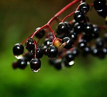 Elderberries glistening in the woods by gracetalking