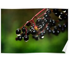 Elderberries glistening in the woods Poster