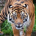 Focused Tiger by sketchpoet