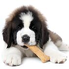 Adorable Saint Bernard Puppy Eating a Dog Biscuit Treat by Katrina Brown