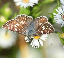 Checkered Skipper by Terry Aldhizer