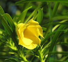 Yellow oleander flower by hummingbirds