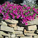 Fall Petunias On A Rock Wall by teresa731