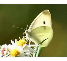 Up Close Cabbage White Butterfly Photographic Print