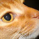 Abbysinian Kitten by Lolabud