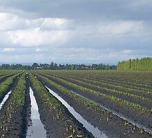 Asparagus Farm, Cardinia, Victoria. by johnrf