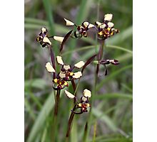 Common Donkey Orchid Photographic Print