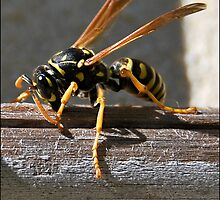 Paper Wasp Nibbling on wood by jodik75
