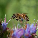 Bee at work-garden by patcheah
