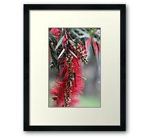 Aussie Bottlebrush Flower Framed Print