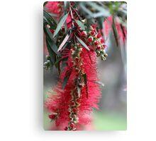 Aussie Bottlebrush Flower Canvas Print