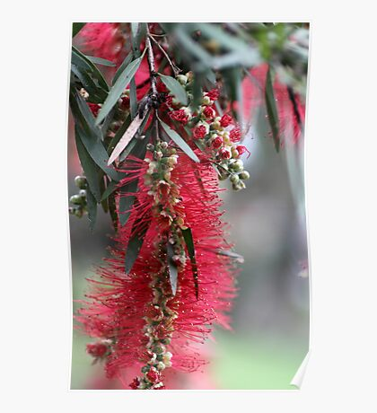 Aussie Bottlebrush Flower Poster