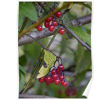 Lovely belladona berries Poster