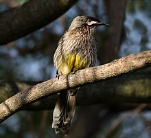 Young Adult Red Wattle Bird in Jacaranda by Sandra Chung