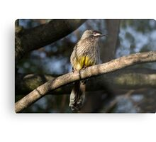Young Adult Red Wattle Bird in Jacaranda Metal Print