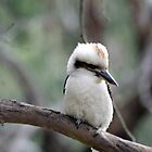 Kookaburra by Mark Bird