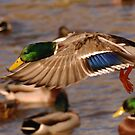 Mallard Inflight 3 by Alexa Pereira