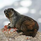 Marmot by Vickie Emms