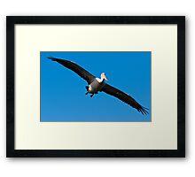 Australian Pelican Framed Print