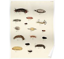 Exotic butterflies of the three parts of the world Pieter Cramer and Caspar Stoll 1782 Supplement 0177 Poster